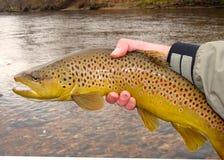 Pesca di mosca, bella trota di Brown e fiume Immagine Stock