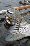 Pesca di mosca della coda della trota iridea Fotografie Stock
