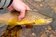 Pesca di mosca, rilasciante la bella trota di Brown Fotografie Stock