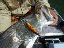 Pesca di richiamo - Barramundi Fotografie Stock