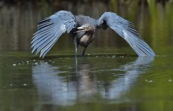Pesca do caerulea do Egretta da garça-real de azul pequeno Imagem de Stock