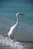 Pesca do Egret Fotografia de Stock
