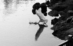 Pesca do Egret Imagens de Stock Royalty Free