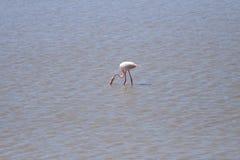 Pesca do flamingo Foto de Stock Royalty Free