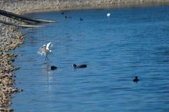 A pesca do garzetta do Egretta do egret pequeno saiu e galeirões euro-asiáticos direito do atra do Fulica foto de stock