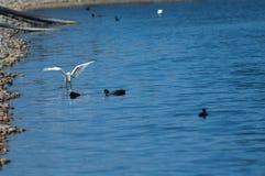 A pesca do garzetta do Egretta do egret pequeno saiu e galeirões euro-asiáticos direito do atra do Fulica imagem de stock royalty free