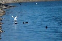 A pesca do garzetta do Egretta do egret pequeno saiu e galeirões euro-asiáticos direito do atra do Fulica imagens de stock royalty free
