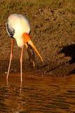 Pesca do pássaro vadeando nas águas Fotos de Stock Royalty Free
