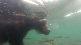 Pesca dos urso pardos filme