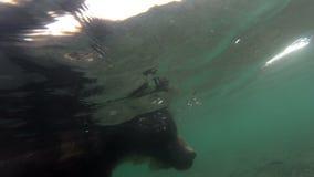 Pesca dos urso pardos video estoque