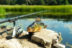 Pesca en el giro La captura en la barra de giro en el río Una perca en un gancho Deportes con el giro Relájese cerca del agua foto de archivo libre de regalías