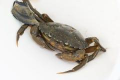 Pesca europea del cangrejo de orilla lanzada Foto de archivo