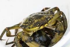 Pesca europea del cangrejo de orilla lanzada Imágenes de archivo libres de regalías