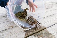Pesca europea del cangrejo de orilla lanzada Fotografía de archivo libre de regalías