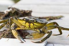Pesca europea del cangrejo de orilla lanzada Fotos de archivo libres de regalías