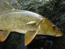 Pesca grezza per il barbus Fotografia Stock Libera da Diritti