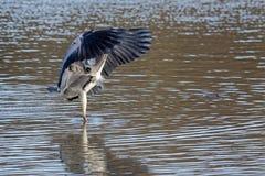 Pesca grigia dell'airone Fotografia Stock