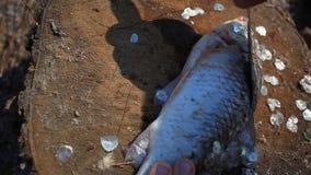 pesca Limpeza do pescador do homem que prepara peixes no video estoque