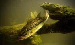 Pesca para peixes do baixo largemouth Fotografia de Stock Royalty Free