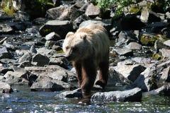 Pesca que va de Cub de oso Imagenes de archivo