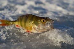 Pesca sul ghiaccio della primavera Fotografie Stock Libere da Diritti