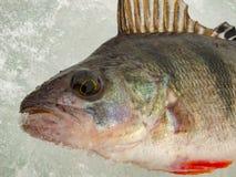 Pesca sul ghiaccio in Russia Immagine Stock Libera da Diritti