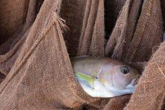 Pescado blanco pacífico imágenes de archivo libres de regalías