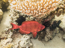 Pescado Mar Rojo Egipto Imágenes de archivo libres de regalías