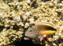 Pescado Mar Rojo Egipto Fotografía de archivo libre de regalías