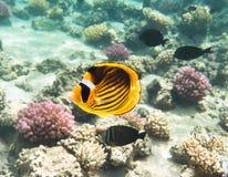Pescado-mariposa Marine Life en el Mar Rojo Imagen de archivo libre de regalías