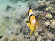 Pescado-mariposa Marine Life en el Mar Rojo Foto de archivo