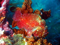 Pescado-rana del color rojo fotos de archivo