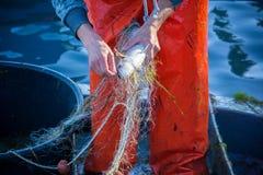 pescador ao limpar a rede de pesca dos peixes Imagem de Stock