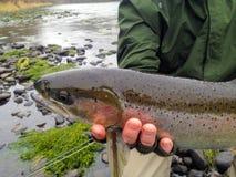 Pescador de la mosca con la trucha arco iris Foto de archivo