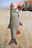 Pescador Holding His Catch, europeu Chub Fish Fotografia de Stock