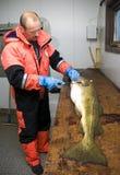 Pescador que corta bacalao grande   Foto de archivo libre de regalías