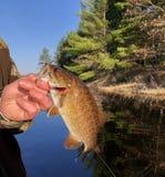 Pescador que guarda um baixo de Smallmouth Fotografia de Stock