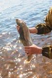 Pescador que presenta a la trucha arco iris Pesca de la vuelta Trucha arco iris, trucha del redband fotos de archivo libres de regalías