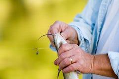 Pescador que quita un gancho de leva Foto de archivo