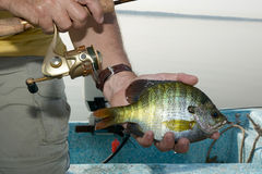 Pescador que sostiene un Lepomis macrochirus enganchado en su mano fotos de archivo