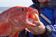 Pescador que sustenta um bodião recentemente travado fotos de stock