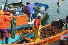 Pescadores que descargan Pyura Chilensis Imagen de archivo libre de regalías