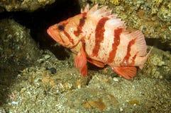 Pescados 2 de la roca del tigre Imagen de archivo libre de regalías