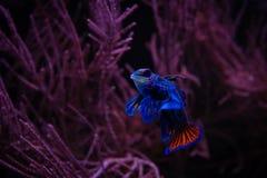Pescados agradables del mandarín en animales domésticos del acuario del mar de coral foto de archivo