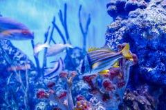 Pescados agradables en agua azul cerca del rif Imágenes de archivo libres de regalías
