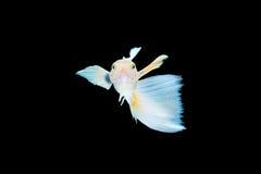 Pescados aislados del guppy Imagen de archivo libre de regalías