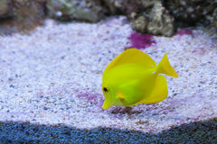Pescados amarillos foto de archivo libre de regalías