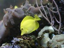 Pescados amarillos fotografía de archivo
