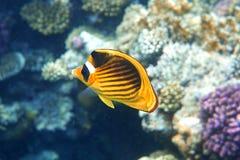 Pescados amarillos Imagen de archivo