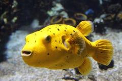 Pescados amarillos Imagenes de archivo
